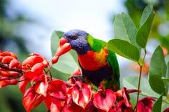 Vermelho comer do pássaro de Lorikeet do arco-íris na árvore no jardim de Sydney Botanic foto de stock royalty free
