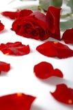 Vermelho cor-de-rosa e pétalas Imagem de Stock
