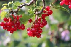 Vermelho-correntes maduras Fotografia de Stock Royalty Free