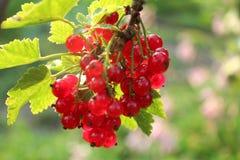 Vermelho-correntes maduras Foto de Stock Royalty Free