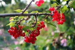 Vermelho-correntes maduras Imagem de Stock Royalty Free