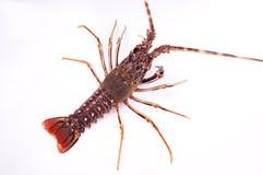 Vermelho cru e azul da lagosta Imagem de Stock Royalty Free