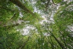 Vermelho Cypress de Taiwan Imagens de Stock