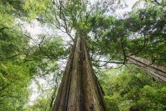 Vermelho Cypress de Taiwan Fotos de Stock