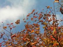 Vermelho da cinza de montanha Foto de Stock Royalty Free