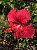 Vermelho da flor Fotografia de Stock Royalty Free