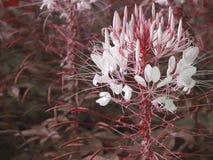 Vermelho da flor Fotos de Stock