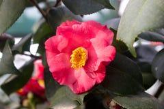 Vermelho da flor da camélia Imagem de Stock