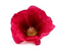 Vermelho da flor da malva Fotografia de Stock