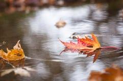 Vermelho da folha do outono Fotografia de Stock Royalty Free