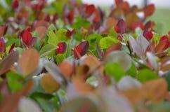 Vermelho da grama Foto de Stock Royalty Free