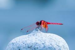 Vermelho da libélula Fotografia de Stock Royalty Free