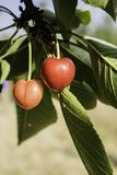 Vermelho de cereja nos três imagens de stock