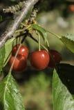 Vermelho de cereja nos três fotos de stock