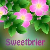 Vermelho de florescência, suspensão mais weetbrier madura em um ramo com folhas verdes Fotos de Stock Royalty Free