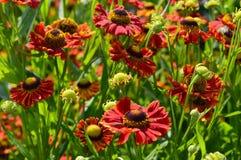 Vermelho de Hybridum do Helenium Fotos de Stock