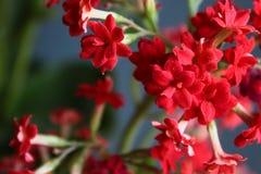 Vermelho de Kalanchoe fotografia de stock