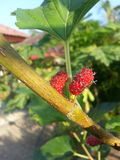 Vermelho de Multiberry Foto de Stock