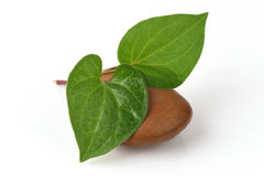 Vermelho de Plu Kaow (nome tailandês) (cordata Thunb do Houttuynia ) Ervas anticancerosas Imagem de Stock Royalty Free
