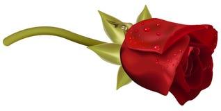 Vermelho de Rosa com pingos de chuva Fotografia de Stock Royalty Free