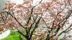 Vermelho de Sakura Imagem de Stock Royalty Free