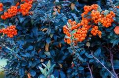 Vermelho de Saphyr do Pyracantha Foto de Stock