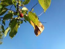 Vermelho de uma árvore e de um azul do céu Imagem de Stock Royalty Free