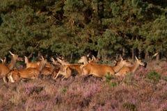 Vermelho-dears fêmea Fotos de Stock Royalty Free