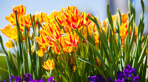 Vermelho do amarelo das tulipas do verão com hastes verdes Imagens de Stock Royalty Free
