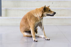 Vermelho do cão que Itching o risco de A Fotos de Stock