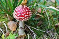 Vermelho do cogumelo venenoso Fotos de Stock Royalty Free