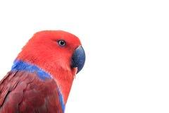 vermelho do eclectus Foto de Stock