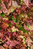 Vermelho do fundo da alface Foto de Stock Royalty Free