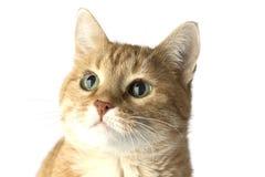 Vermelho do gato Fotos de Stock