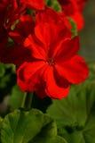 Vermelho do gerânio da flor fotos de stock royalty free
