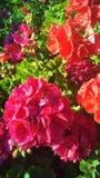 Vermelho do inverno Fotos de Stock