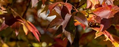 Vermelho do outono, amarelo, ouro e styraciflua verde do Liquidambar das folhas, árvore ambarina Um close-up da folha no foco con fotografia de stock royalty free