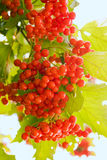 Vermelho do Viburnum Foto de Stock Royalty Free