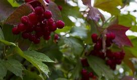 Vermelho do Viburnum Foto de Stock