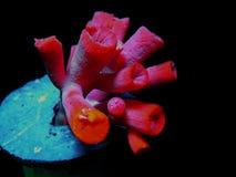 Vermelho dois Imagens de Stock Royalty Free