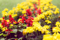 Vermelho e amarelo Foto de Stock