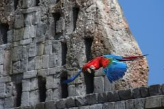 Vermelho e azul da arara do voo foto de stock royalty free