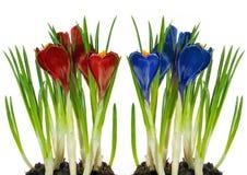 Vermelho e azul do açafrão Imagem de Stock Royalty Free