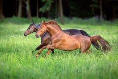 Vermelho e corrida livre do cavalo de baía Imagem de Stock
