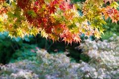 Vermelho e folhas da laranja no baixo ramo Fotografia de Stock