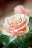 Vermelho e foto cor-de-rosa do close-up da flor da laranja com profundidade rasa de Fotografia de Stock