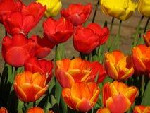 Vermelho e tulipas alaranjadas e amarelas Fotos de Stock