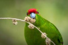 Vermelho feliz periquito verde coroado Imagens de Stock