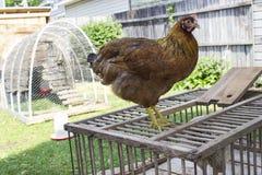 Vermelho/galinha de Brown que está na caixa de madeira da galinha com a capoeira no fundo Imagem de Stock