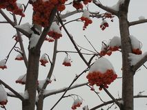 Vermelho, grupos, Rowan, coberto, inverno, geada, fundo, brilhante, neve, branco, ashberry, árvore, close up, Natal, estação, fre foto de stock